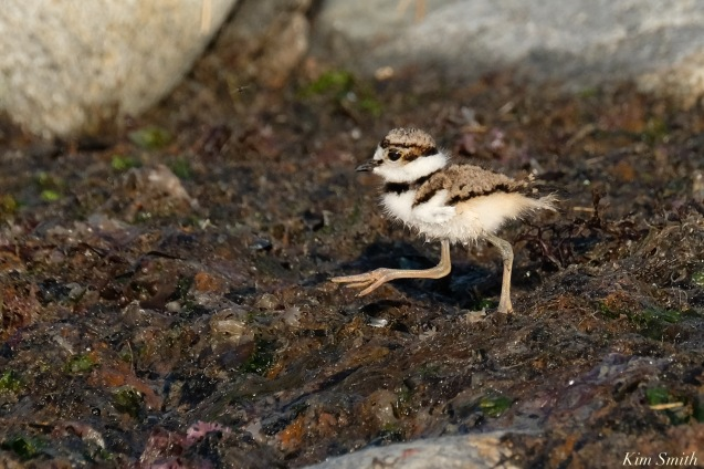 Killdeer Plover chick Spring 2020 copyright Kim Smith - 60 of 68