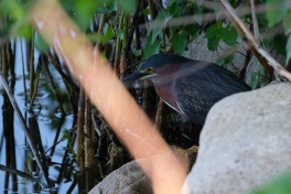 Little Green Heron Spring 2020 copyright Kim Smith - 49 of 68