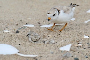 Piping Plover Clam Fam Day Hatching Day #2 Afternoon copyright Kim Smith - 1 of 52