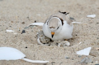 Piping Plover Clam Fam Day Hatching Day #2 Afternoon copyright Kim Smith - 2 of 52