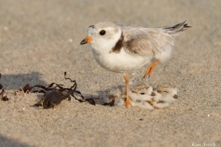 Piping Plover Clam Fam Day Hatching Day #2 Afternoon copyright Kim Smith - 23 of 52