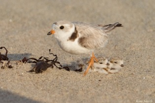Piping Plover Clam Fam Day Hatching Day #2 Afternoon copyright Kim Smith - 24 of 52