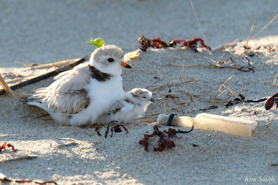 Piping Plover Clam Fam Day Hatching Day #2 Afternoon copyright Kim Smith - 31 of 52