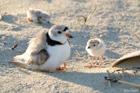 Piping Plover Clam Fam Day Hatching Day #2 Afternoon copyright Kim Smith - 33 of 52