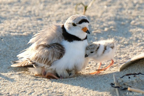 Piping Plover Clam Fam Day Hatching Day #2 Afternoon copyright Kim Smith - 34 of 52