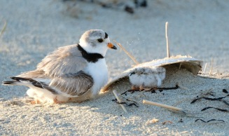 Piping Plover Clam Fam Day Hatching Day #2 Afternoon copyright Kim Smith - 42 of 52