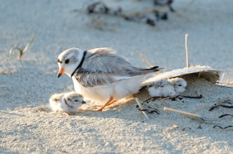 Piping Plover Clam Fam Day Hatching Day #2 Afternoon copyright Kim Smith - 43 of 52