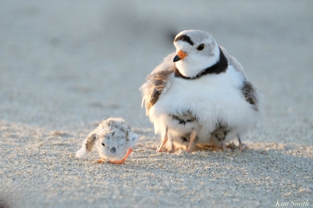 Piping Plover Clam Fam Day Hatching Day #2 Afternoon copyright Kim Smith - 52 of 52