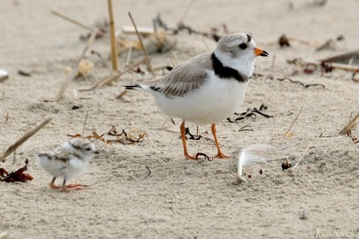 Piping Plover Clam Fam Day Hatching Day #2 Afternoon copyright Kim Smith - 6 of 52