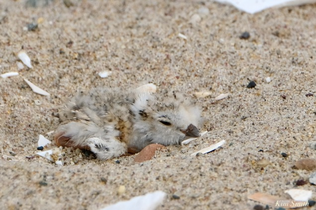 Piping Plover Clam Fam Day Hatching Day #2 Afternoon copyright Kim Smith - 7 of 52