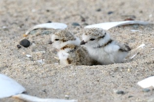 Piping Plover Clam Fam Day Hatching Day #2 Morning copyright Kim Smith - 20 of 51