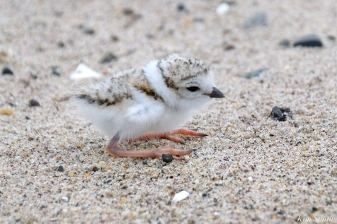 Piping Plover Clam Fam Day Hatching Day #2 Morning copyright Kim Smith - 7 of 51