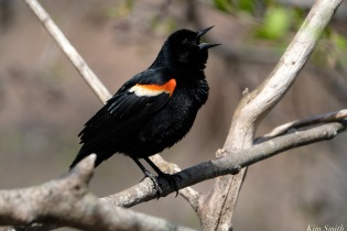 Red-winged Blackbird Spring 2020 copyright Kim Smith - 28 of 68