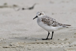 Sanderling Spring 2020 copyright Kim Smith - 16 of 68