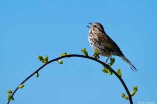 Song Sparrow Spring 2020 copyright Kim Smith - 39 of 68
