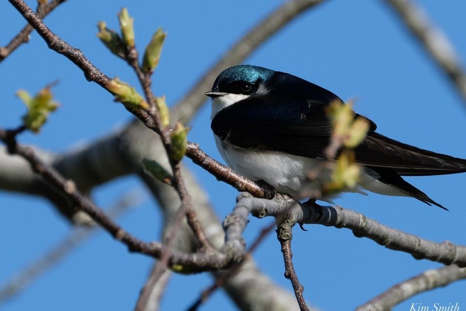Tree Swallow Spring 2020 copyright Kim Smith - 12 of 68