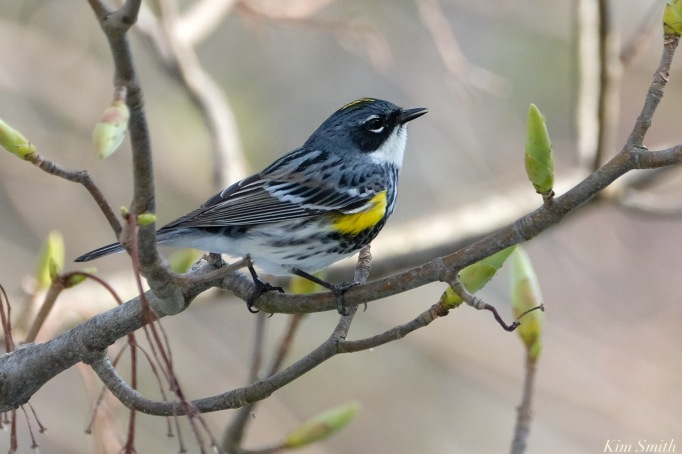 Yelow-Rumped Warbler Spring 2020 copyright Kim Smith - 19 of 68