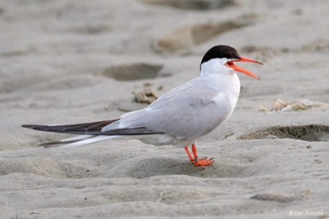 Common Tern Good Harbor Beach Gloucester copyright Kim Smith - 12 of 21