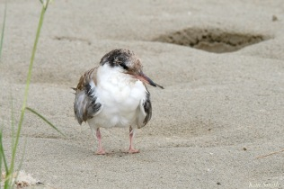 Common Tern Juvenile Good Harbor Beach Gloucester copyright Kim Smith - 15 of 21