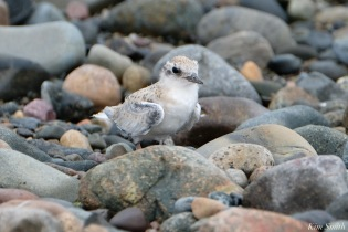 Least Tern Fledglings Winthrop Shore Reservation copyright Kim Smith - 17 of 20