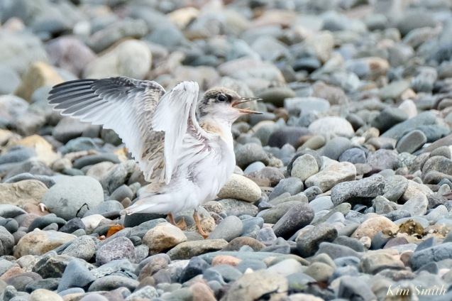 Least Tern Fledglings Winthrop Shore Reservation copyright Kim Smith - 3 of 20