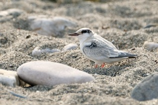 Least Tern Fledglings Winthrop Shore Reservation copyright Kim Smith - 8 of 20