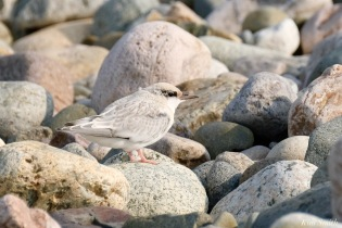 Least Tern Fledglings Winthrop Shore Reservation copyright Kim Smith - 9 of 20