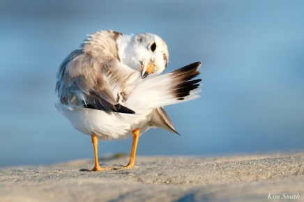 Piping Plover Male Preening Good Harbor Beach copyright Kim Smith