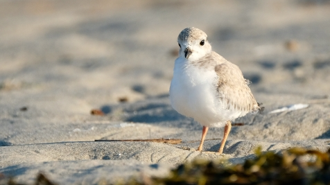 Piping Plovers 2020 copyright Kim Smith - 100 of 106