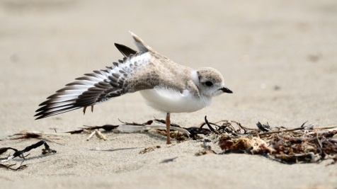 Piping Plovers 2020 copyright Kim Smith - 104 of 106