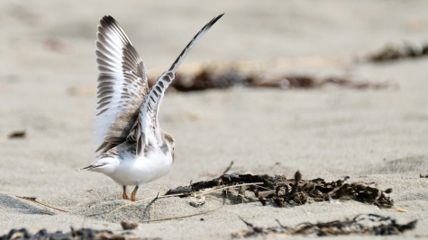 Piping Plovers 2020 copyright Kim Smith - 105 of 106