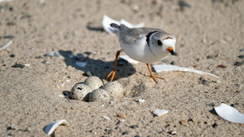 Piping Plovers 2020 copyright Kim Smith - 17 of 106