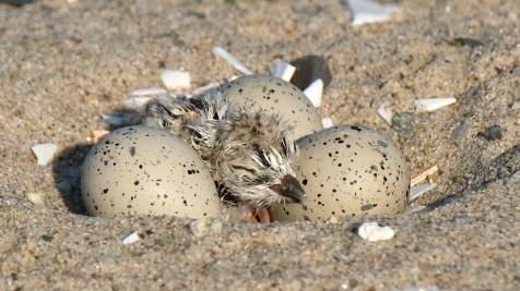 Piping Plovers 2020 copyright Kim Smith - 20 of 106