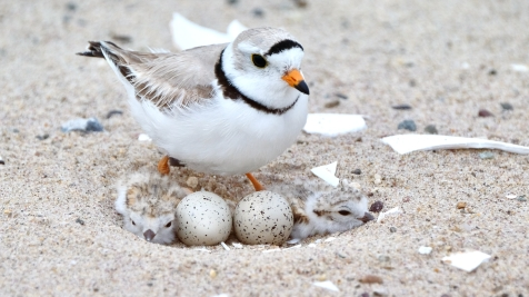 Piping Plovers 2020 copyright Kim Smith - 23 of 106