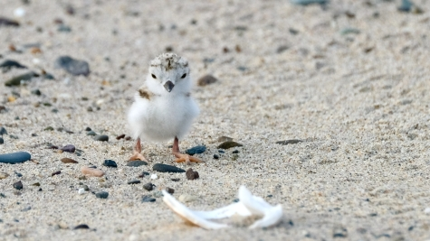 Piping Plovers 2020 copyright Kim Smith - 26 of 106