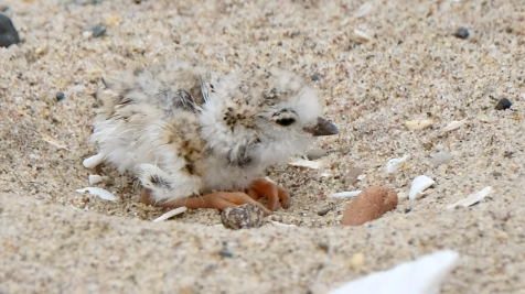 Piping Plovers 2020 copyright Kim Smith - 35 of 106