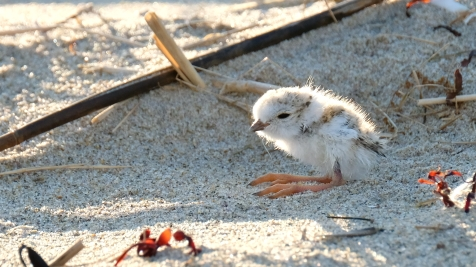 Piping Plovers 2020 copyright Kim Smith - 40 of 106