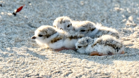 Piping Plovers 2020 copyright Kim Smith - 42 of 106