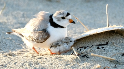 Piping Plovers 2020 copyright Kim Smith - 44 of 106