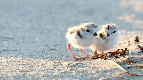 Piping Plovers 2020 copyright Kim Smith - 48 of 106