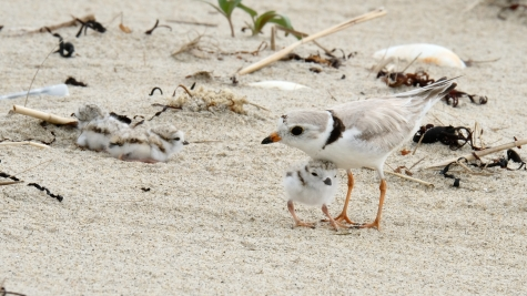 Piping Plovers 2020 copyright Kim Smith - 52 of 106