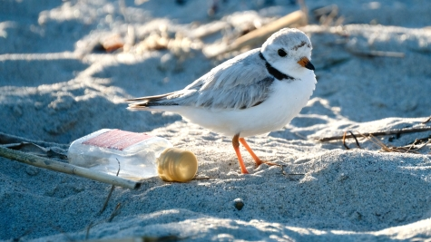 Piping Plovers 2020 copyright Kim Smith - 67 of 106