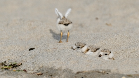 Piping Plovers 2020 copyright Kim Smith - 80 of 106