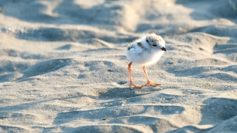 Piping Plovers 2020 copyright Kim Smith - 85 of 106