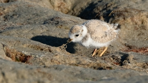 Piping Plovers 2020 copyright Kim Smith - 95 of 106