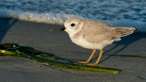 Piping Plovers 2020 copyright Kim Smith - 97 of 106