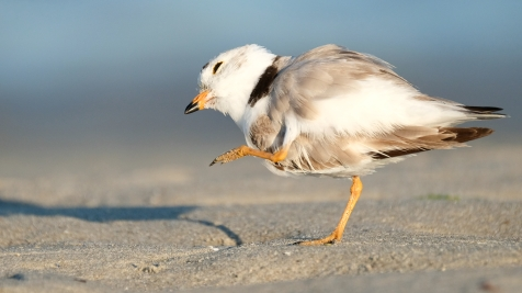 Piping Plovers 2020 copyright Kim Smith - 99 of 106