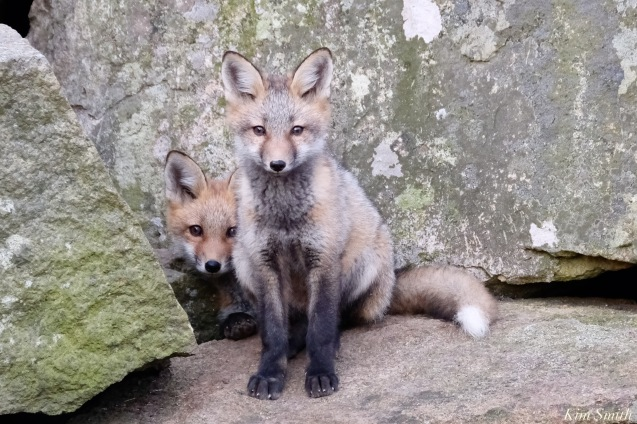Red Fox Kits Gloucester MA copyright Kim Smith - 10 of 19