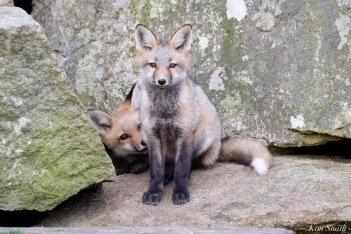 Red Fox Kits Gloucester MA copyright Kim Smith - 11 of 19