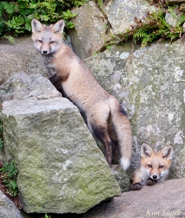 Red Fox Kits Gloucester MA copyright Kim Smith - 12 of 19